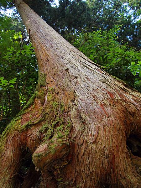 高尾の杉1