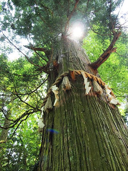 高尾の杉2